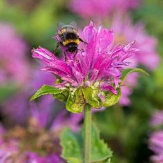 Bergamot 'Petite Delight' plant / flower - Insects will enjoy these vibrant pink blooms for much of the summer, as it flowers from early July to September.