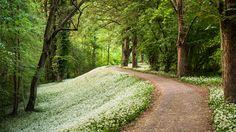 Ein Teppich aus blühendem Bärlauch bedeckt den Boden des Mannheimer Waldparks. Fotografiert im Frühling.