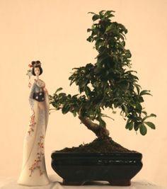 Бонсай, комнатные растения, подарки