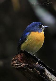 マングローブヒメアオヒタキ Mangrove blue flycatcher (Cyornis rufigastra) female