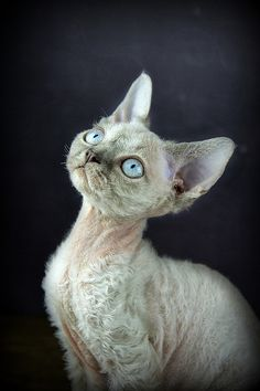 Devon Rex Kitten | by Sandie Aroha Photography