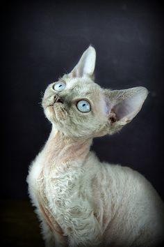 Devon Rex Kitten by Sandie Aroha Photography Cute Cats And Kittens, Cool Cats, Devon Rex Kittens, Animals Beautiful, Cute Animals, Cornish Rex Cat, Unique Cats, Sphynx Cat, Cat Breeds