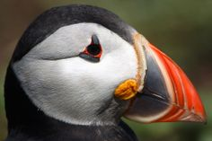A Puffin stands on a clifftop on Inner Farne, on June 24, 2011. (Dan Kitwood/Getty Images)