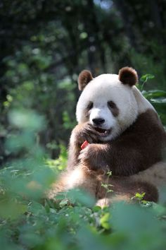 """bear-pictures: """"Qi Zai, at Shaanxi Rare Wildlife Rescue, Breeding and Research Center is the only captive Qinling panda in the world. Panda Love, Cute Panda, Animals And Pets, Baby Animals, Cute Animals, Bear Pictures, Cute Animal Pictures, Brown Panda, Grizzly Bear Cub"""