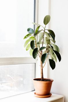 Perfectly placed by the window. Rubber Plant, Rubber Tree, Ficus Elastica, Cactus Plante, Plants Are Friends, Plantation, Green Life, Outdoor Plants, Green Plants
