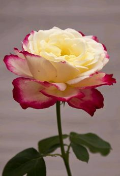 """Looks like """"double delight""""extremely fragrant beautiful rose Beautiful Rose Flowers, Pretty Roses, All Flowers, Flowers Nature, Exotic Flowers, Amazing Flowers, Ronsard Rose, Bloom, Rose Pictures"""