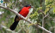 https://www.facebook.com/WonderBirdSpecies/ Black-headed gonolek (Laniarius erythrogaster); Africa; IUCN Red List of Threatened Species 3.1 : Least Concern (LC)(Loài ít quan tâm)    Chim Gonolek đầu đen; Châu Phi; HỌ BÁCH THANH BỤI-MALACONOTIDAE (Bushshrikes).