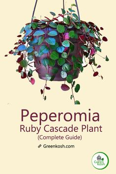 Peperomia Ruby Cascade plant is a dark leaf seedling and member of the peperomia herb family. Peperomia Ruby Cascade has more of a trailing vine than typical peperomias and grows reddish funnel-shaped flowers. Veg Garden, Indoor Garden, Indoor Plants, Succulents Garden, Planting Flowers, Peperomia Plant, Hanging Plants, Hanging Gardens, Magic Herbs