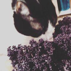 Col Kale Morada. Rica en antocianinas.  Sabrosa nutritiva y saludable que más se le puede pedir?  Mi gato lo tiene muy claro jejeje #healthy #alimentaciónsaludable #kale #cocinasaludable #comericoysano #healthyfood #vegan  #veggie #vegetariano #cats