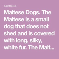 The Maltese is a small dog that does not shed and is covered with long, silky, white fur. The Maltese breed is descended from dogs form the island of Malta. Maltese Puppies For Sale, Maltese Dogs, Malta Island, White Fur, Small Dogs, Shed, Cover, Little Dogs, Maltese