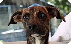 Yardley, PA - Plott Hound Mix. Meet Minnie Mouse, a puppy for adoption. http://www.adoptapet.com/pet/16848530-yardley-pennsylvania-plott-hound-mix