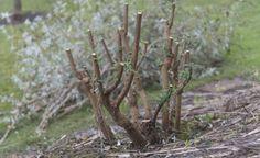 Nur das Grundgerüst des ursprünglichen Strauchs bleibt nach dem Schnitt übrig. Aber keine Sorge: Bis zum Sommer ist er wieder mannshoch und trägt an den Trieb-Enden zahlreiche neue Blüten