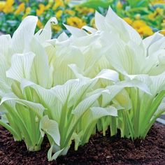 Shop White Feather Hosta at Breck's