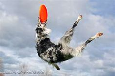 they are great frisbee dogs