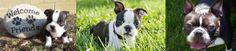 A rescue group for Boston Terriers that have Bostons looking for their forever homes.