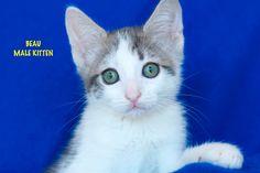 Beau a Brown Tabby Torbie Kitten for Adoption