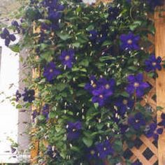 Clematis pruning suggestions