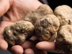 Tuber magnatum pico (white truffle)