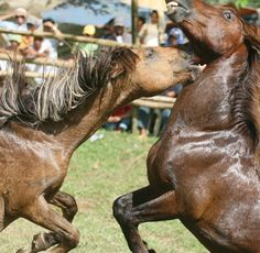 Article. There are currently over 1,000 horses bred for fighting in the Philippines.