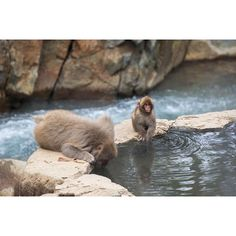 【vbenni】さんのInstagramをピンしています。 《Just some (wild) monkeys enjoying an onsen in Jigokudani, Yamanouchi, Japan  26.10.2016 ⠀⠀⠀⠀⠀⠀⠀⠀⠀⠀⠀⠀⠀⠀⠀⠀⠀⠀⠀⠀⠀⠀⠀⠀⠀ #yamanouchi #nagano #jigokudani #jigokudanimonkeypark #japan #日本 #京都市 #snowmonkey #森#japanesemacaque #macaque #nihonzaru #日本猿 #onsen #hotspring #温泉 #japanesealps #fuji ⠀⠀⠀⠀⠀⠀⠀⠀⠀⠀⠀⠀⠀⠀⠀⠀⠀⠀⠀⠀⠀⠀⠀⠀⠀ #diewocheaufinstagram #canon #theworldshotz #awesome_travels #lovetheworld #ourplanetdaily #earthofficial #awesome_earthpix  #animal #monkey》