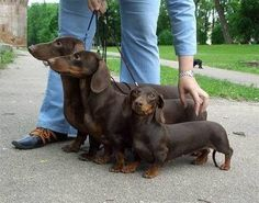 Dachshund – Friendly and Curious Dachshund Funny, Long Haired Dachshund, Dachshund Puppies, Dachshund Love, Cute Puppies, Cute Dogs, Daschund, Standard Dachshund, Baby Animals