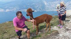 Die Alpakas fühlen sich wohl auf dem Monte Baldo Sports, Animals, Alpacas, Summer, Landscapes, Hiking, Hs Sports, Animales, Animaux