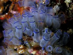 Bluebell Tunicates