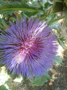 Alcachofa en flor.