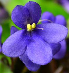 Pixie Blue Miniature African Violet Flower