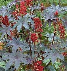 RICINUS Ricinus Communis L. | Lekovite biljke i začini