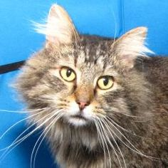 Abe is an adoptable Domestic Long Hair Cat in Springfield, IL. Sangamon County had ananonymousparty donate money to subsidize adoption fees on all cats over one year of age that are adopted through ...