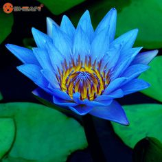 Blue Bowl Lotus Seeds Bonsai  Lotus Water Lily Aquatic Plants Flower Seed 20 Particles / lot