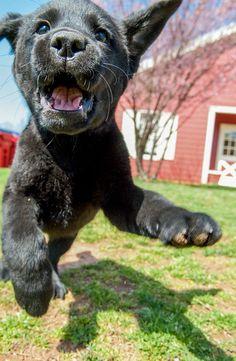 This Labrador Retriever means business!