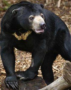 Sun Bear - the tree bear of Asia is born with a honey bib. Sun bears don't actually enjoy the sun at all! Unusual Animals, Cute Animals, Majestic Animals, Wild Animals, Black Bear, Brown Bear, Pets, Pet Dogs, Malayan Sun Bear