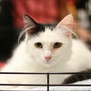 Meet Pumpkin of the Furry Ears Lap Cat, a Petfinder adoptable Turkish Angora Cat   New York, NY   Pumpkin is only a year old. She loves her person but not so much other cats although she lives w/...