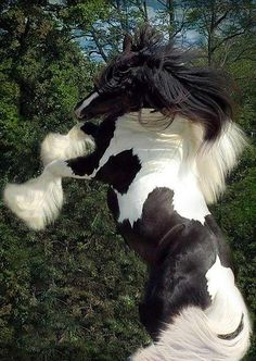 Gypsy Vanner horse rearing. Please also visit www.JustForYouPropheticArt.com for colorful, inspirational art and stories and like my  Facebook Art Page  at www.facebook.com/Propheticartjustforyou Thank you so much! Blessings!