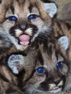 Zwei Puma-Babys mit Stahlblauen Augen!