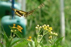 5 Gardening Tips for Attracting Butterflies. birdsandblooms.com