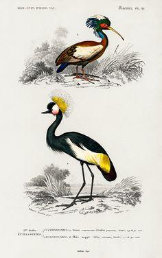 Vintage Birds, Vintage Images, Vintage Prints, Vintage Bird Illustration, Pixel Image, Fauna, Free Illustrations, Bird Prints, Bird Art