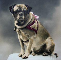 Vintage French photo postcard posing pug dog by DogDayAfternoons