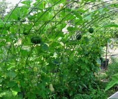 Cattle panel trellis raised bed. Use as entry way with grapes/wisteria growing over and hanging down! MY new goal!