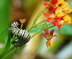 Monarch Caterpillars are devouring the wet flowers and stems of the Yellow and Red Milkweed I planted for them... Butterflies are on the way! by jungle mama, via Flickr by Susan Ford Collins