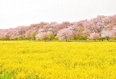 * * 過去pic。 寒いけど春っぽく(´∀`) * 2016.4.10 * 埼玉県幸手、権現堂。 桜前線過ぎる前にギリギリ間に合う(^^;) 近くで見るとだいぶ散ってたけど、定番のこのアングルだとまだ桜感あり☆。.:*・゜☆。.:*・゜ * 今年は青空の中の満開を狙いたい(๑•̀ •́)و✧ * * * * * #埼玉県 #幸手 #権現堂 #桜 #菜の花 #春  #カメラ好きな人と繋がりたい #写真好きな人と繋がりたい #写真撮ってる人と繋がりたい #カメラ女子 #Nikon #D5300 #japan_of_insta #whim_life #japan_art_photography #team_jp_ #Lovers_Nippon #Loves_Nippon #ptk_japan #japan_daytime_view #bestphoto_japan #instagood  #東京カメラ部 #photo_shorttrip #photo_jpn #wu_japan #tokyocameraclub #bestjapanpics #instagramjapan…