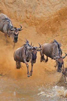 *Herd crossing the river