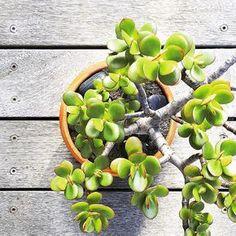 Beautiful Bonsai Jade Plant. #beautiful #bonsai #jadeplant #jade #succulent #succulents #plant #plants #potplant #bush #leaves #garden #gardening #beauty #nature #detail #creative #art #simple #simplicity #minimal #minimalism #texture #photography #photo #timber #outdoors #melbourne #colour #green
