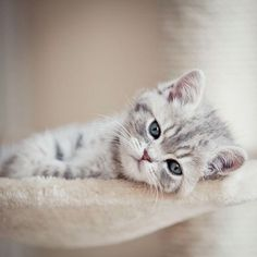 Totally Adorable Little Grey and White Tabby Baby Kitten - I want her!
