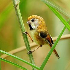 Golden Parrotbill, Sylviidea family: China/ SE Asia