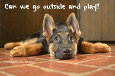 GSD Puppy LOL! Looks like this puppy is melting into the floor