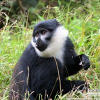L'hoest's Monkey - photo by Glen Valentine; Coat Of Many Colors, Baboon, Chimpanzee, Primates, Bird Watching, Panda Bear, Old World, Tours, Adventure