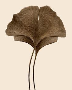 Ginkgo Leaves by Jeff Friesen